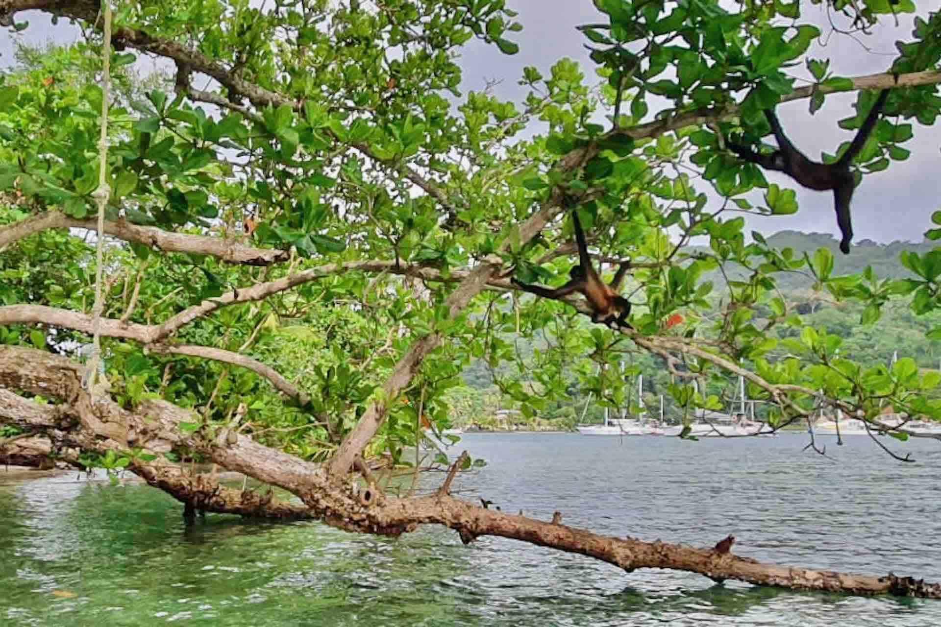 Panama Caribbean tour monkey on tree
